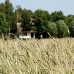 Łany zbóż, w tle chałupa z Ostrowa - lato w Muzeum Wsi Mazowieckiej w Sierpcu