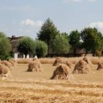 Prace żniwne, pole i stygi zboża - lato w Muzeum Wsi Mazowieckiej w Sierpcu