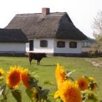 Zagroda z Rębowa, słoneczniki, krowa na pastwisku, drewniana zabudowa - skansen w Sierpcu