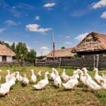 Kaczki w zagrodzie z Rębowa, niebieskie niebo, drewniana zabudowa - skansen w Sierpcu