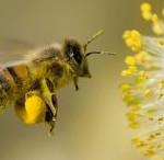 pyłek kwiatowy obnóża