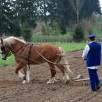 Majówka 2013, skansen w Sierpcu - końc pracuje w polu, bronowanie
