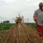 Żniwa 2013, skansen w Sierpcu - pole, gospodyni dekoruje tak zwaną przepiórkę