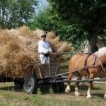 Żniwa 2013, skansen w Sierpcu - gospodarz na wozie konnym, wożenie snopów zboża