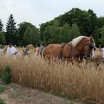 Żniwa 2013, skansen w Sierpcu - pole, para koni, koszenie zboża żniwiarką konną