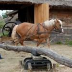 Żniwa 2013, skansen w Sierpcu - koń pracuje w kieracie