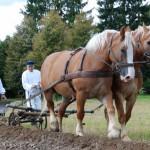 Wykopki 2013, skansen w Sierpcu - pole, para koni ciągnie brony