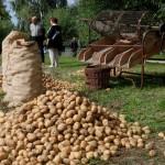 Wykopki 2013, skansen w Sierpcu - zebrane ziemniaki i sortownik