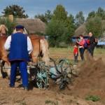 Wykopki 2013, skansen w Sierpcu - konie pracują w polu, kopaczka konna