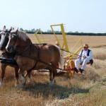 Żniwa 2014, skansen w Sierpcu - pole, para koni pracuje, ciągnąc żniwiarkę konną