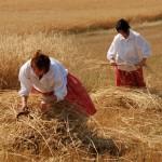 Żniwa 2014, skansen w Sierpcu - kobiety w strojach ludowych wiążą zboże w snopy