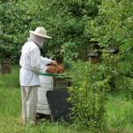 Miodobranie 2014, skansen w Sierpcu - pszczelarz w stroju ludowym, pracuje w pasiece przy pszczołach