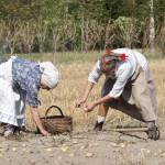 Wykopki 2019, skansen w Sierpcu - kobiety w strojach ludowych zbierają ziemniaki