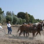 Wykopki 2019, skansen w Sierpcu - pole, konie, pokaz pracy kopaczki konnej