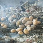 Wykopki 2019, skansen w Sierpcu - ziemniaki pieczone w ognisku