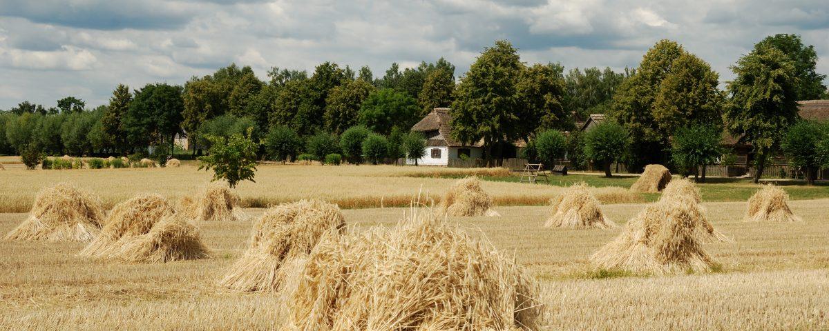 Snopki zboża, w tle chałupa wiejska - skansen w Sierpcu