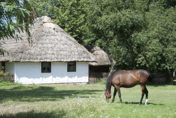 Biała chałupa, obok koń na pastwisku - Skansen w Sierpcu