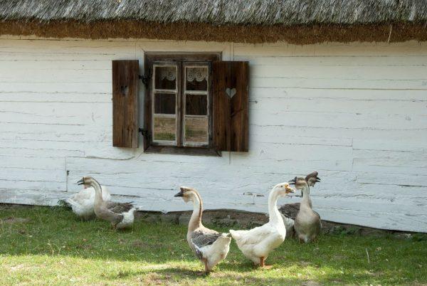 Gromada gęsi przy wiejskiej chałupie - Skansen w Sierpcu