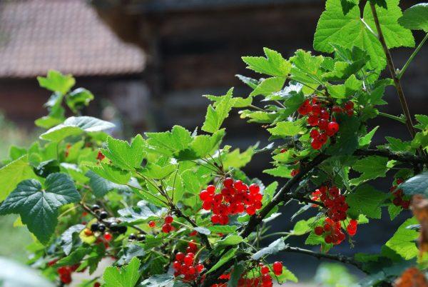 Zbliżenie - porzeczki w ogródku - Skansen w Sierpcu
