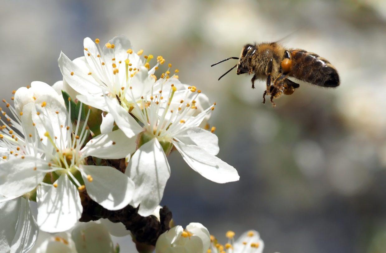Pszczoła lecąca do kwiatu