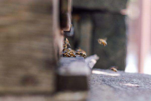 Pszczoły wlatują do ula