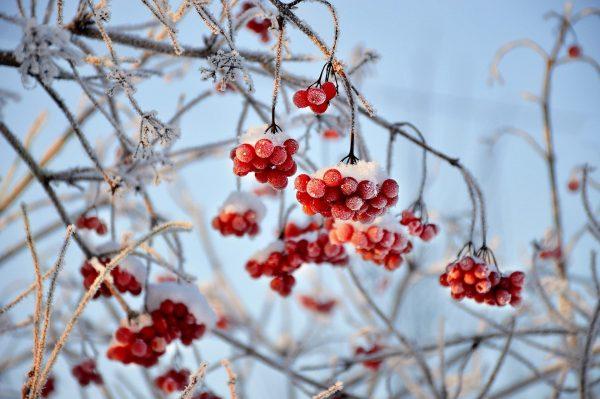 Jarzębina i śnieg