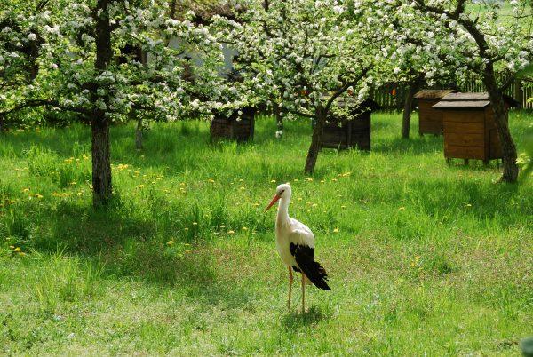 Wiosna w skansenie, bocian, kwiaty na drzewach owocowych - Skansen w Sierpcu