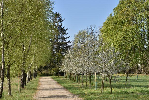 aleja w sadzie wiosną