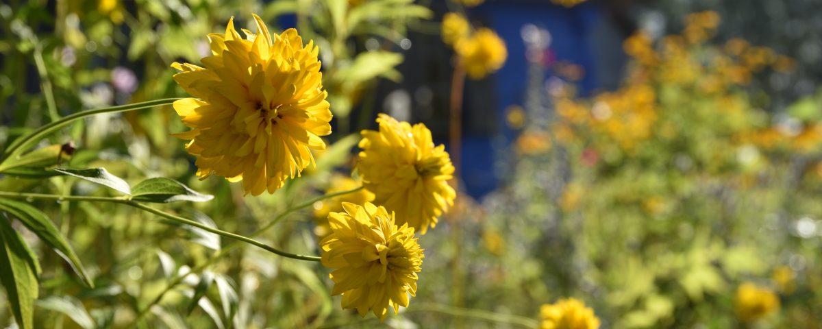 Zbliżenie na kwiaty w ogrodzie wiejskim, w tle chałupa - Skansen w Sierpcu