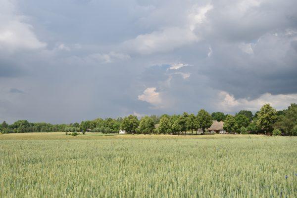 Łany zielonych zbóż, z tyłu widok na wieś, skansen w Sierpcu