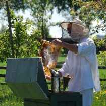 Wiosna, pszczelarz w stroju, wyjmuje z ula plastry z miodem, MWM Sierpc