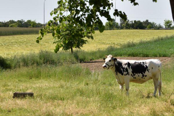 Krowa pasąca się na pastwisku