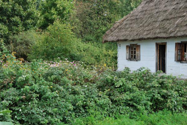 Krzewy malin w zagrodzie z Rębowa w MWM w Sierpcu