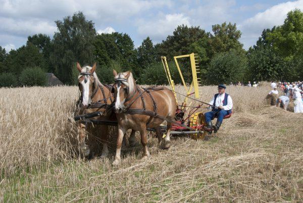 Na polu, koszenie zboża kosiarką konną - skansen w Sierpcu