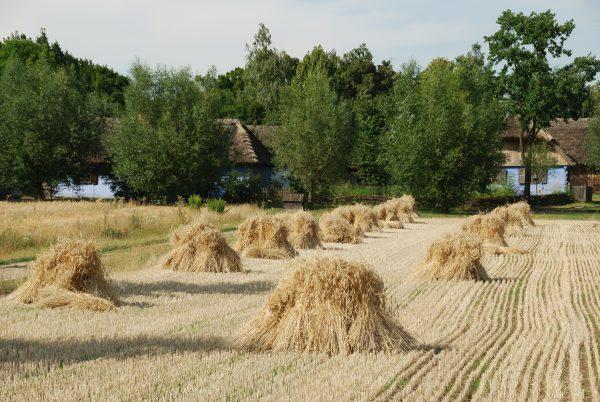 pole z ustawionymi stygami podczas żniw