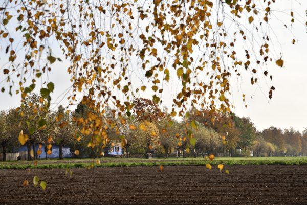 jesień, żółte liście brzozy i widok na chłopskie chałupy, MWM w Sierpcu