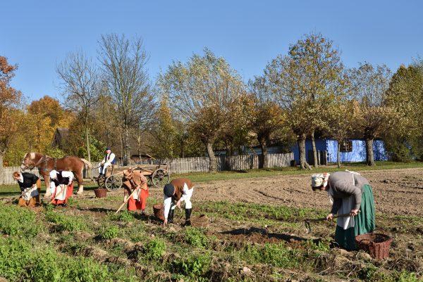 Kilkoro mężczyzn i kobiet kopie motykami ziemniaki na polu