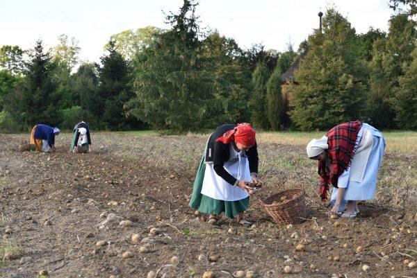 Dwie kobiety w fartuchach i chustach na głowie zbiera ziemniaki na polu